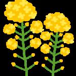 菜の花(春)